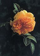 Apricot Rose by Denise Heywood